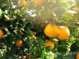 巴东特产雷家坪脐橙