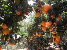 巴东脐橙:吃出个地方果农经济
