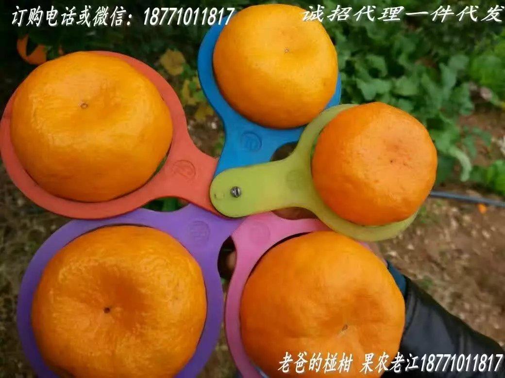 巴东椪柑:鲜果与储果的区别
