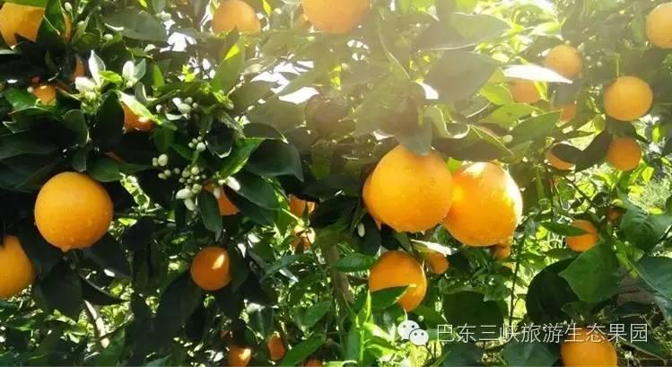 恩施特产(8):巴东特产之雷家坪脐橙(湖北省著名商标)